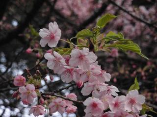 桜便り2010 第一便(3)