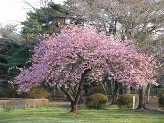 桜便り2010 第一便(4)