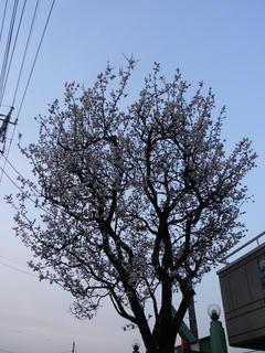 巷ではアンズが咲いていたり(1)