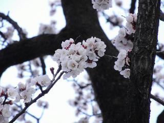 巷ではアンズが咲いていたり(2)