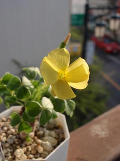ぎゃあああああぁぁぁぁ(3) - ツヤカタバミの花