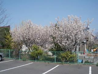 桜便り2010 第二便(1)
