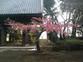 桜便り2010 第二便(2) - ヒカンザクラ