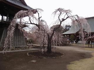 桜便り2010 第三便(1)