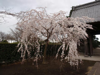 桜便り2010 第三便(2)