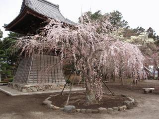 桜便り2010 第三便(3)
