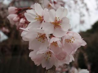 桜便り2010 第三便(4)