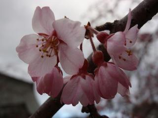 桜便り2010 第三便(5)