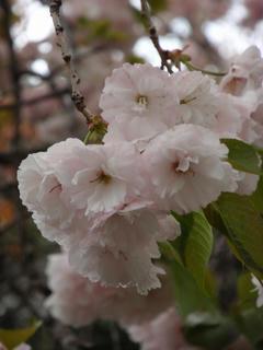 飛鳥山公園、そして駒込・染井 ~桜便り2010 第四便(2)
