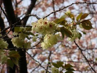 飛鳥山公園、そして駒込・染井 ~桜便り2010 第四便(3)