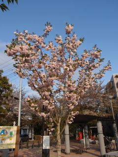 飛鳥山公園、そして駒込・染井 ~桜便り2010 第四便(5)