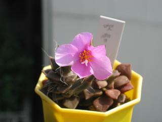 アナカン花で、ウヒヒヒヒ (3)