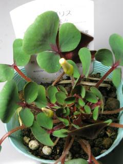 葉っぱ萌え萌えオキザリス新品種 (1)