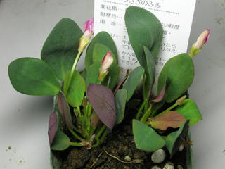葉っぱ萌え萌えオキザリス新品種 (3)