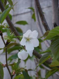 雑木サクラが咲いた!咲いた~~♪ (1)