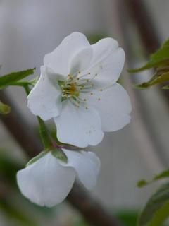 雑木サクラが咲いた!咲いた~~♪ (2)