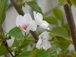 雑木サクラが咲いた!咲いた~~♪ (4)