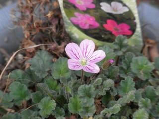 エロディウム・ヒメフウロソウの花 (1)