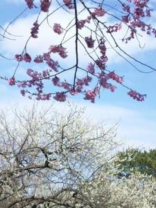 sakura2.jpg.JPG