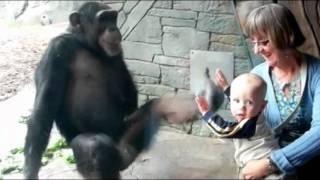 窓ごしに人間の赤ちゃんを殴るチンパンジー。途中でキック
