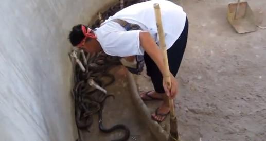 飼育員の掃除中に一斉に抗議するコブラヘビ