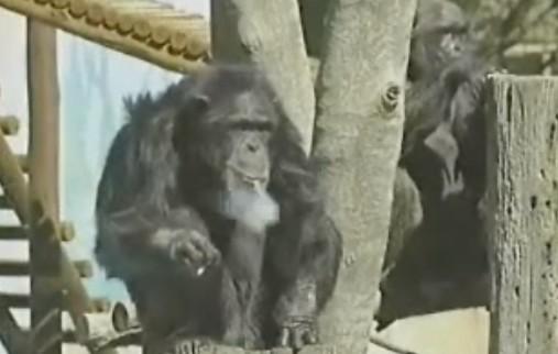 タバコを吸うチンパンジー。タバコ吸って子供から声援もらえるなんてなぁw