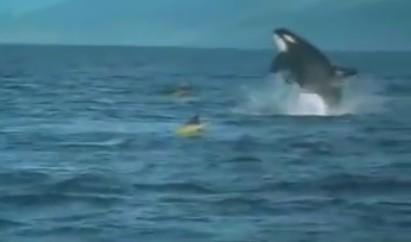 これは焦るwww。カヌーで海を渡っていたら突如、シャチが海から出てきてボディプレス