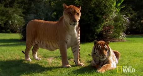 父がライオンで母がトラの雑種動物「ライガー」