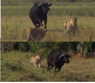 バッファローがライオンを追いかける映像。次の瞬間、立場逆転。追われる映像