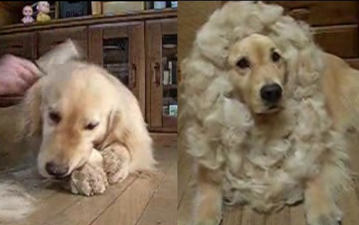 刈った毛でポン・デ・ライオンにされたゴールデンレトリバー