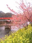 kawazu20001.jpg