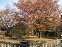 蔵王堂四本桜