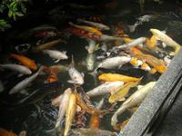 米屋さんの鯉