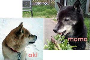 momo-aki-link.jpg