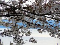 notojima-sakura-2nj.jpg
