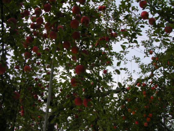 下垂枝利用の降幡芳明氏指導のふじ普通樹