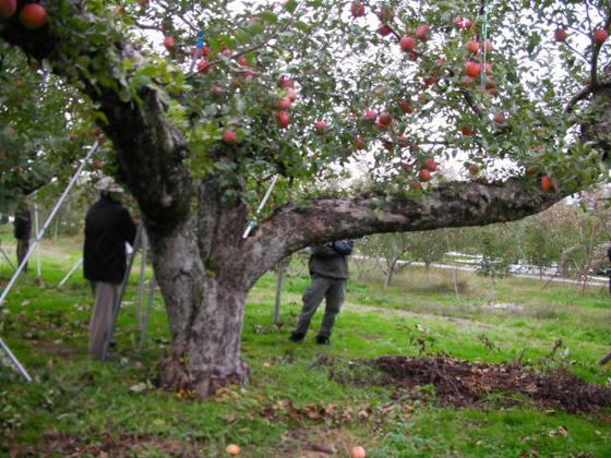 長野県のふじの原木