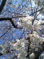 2008年の桜2