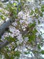 2009年の桜01