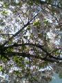 2009年の桜02