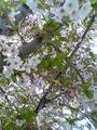 2009年の桜03