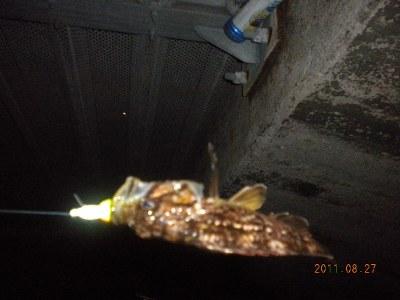 2011-08-27-001 石狩港 クロソイ