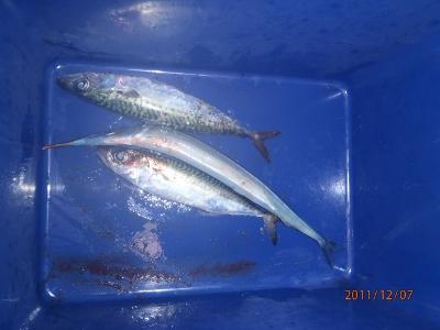 2011-12-07-001 苫小牧東港 釣果
