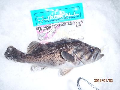 2012-01-02-001 余市港 クロソイ