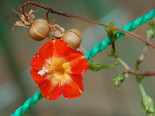 丸葉縷紅草(マルバルコウソウ)