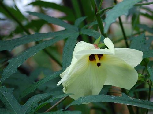 黄蜀葵(トロロアオイ)