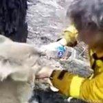 オーストラリア・山火事でコアラ救出!