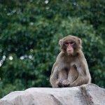 monkey (写真素材 足成)