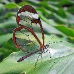 透明な蝶々
