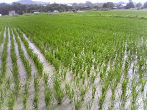 梅雨の田植え